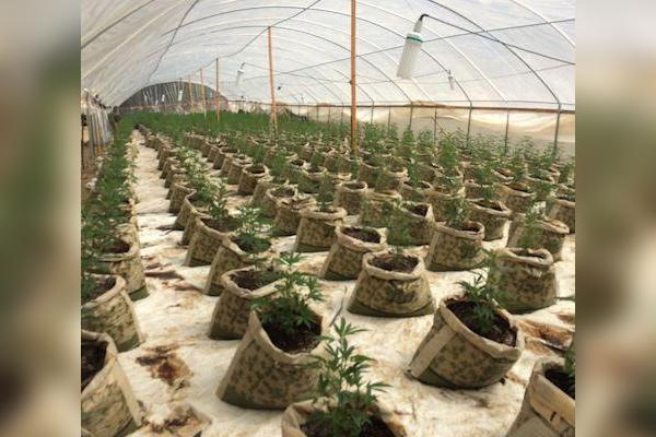 law-enforcement-eradicates-over-13000-marijuana-plants-unpermitted-grows-petrolia